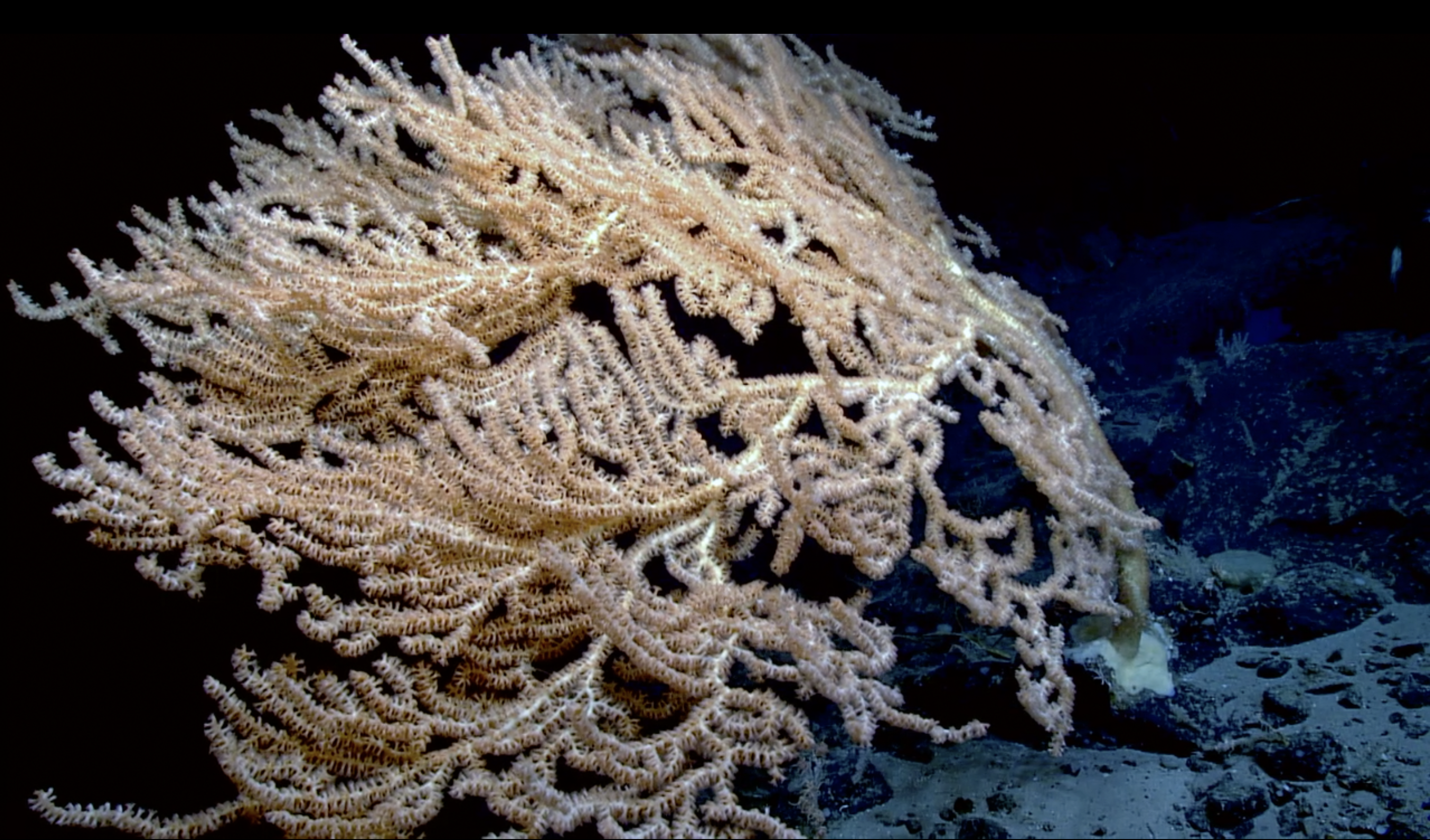 1600 year old coral